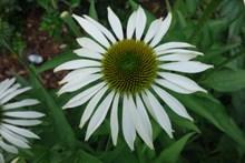 白色松果菊花朵精美图片