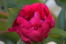 大朵红玫瑰鲜花图片