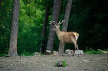 森林休耕鹿图片