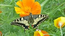 鲜花上的燕尾蝶高清图