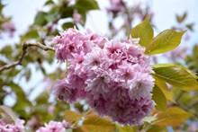 樱花枝樱花摄影图片素材