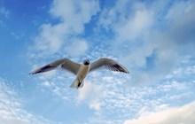 展翅飞翔海鸥图片