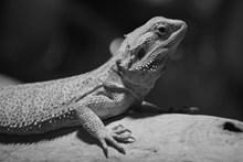 石蜥蜴黑白图片素材