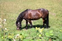 草地棕色骏马吃草高清图