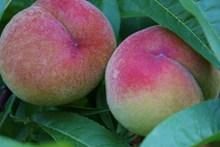 成熟水蜜桃水果图片大全