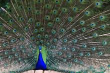 孔雀开屏漂亮尾毛精美图片