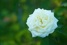 白玫瑰背景摄影高清图
