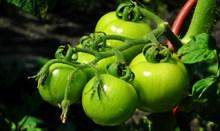 未成熟西红柿蔬菜图片素材