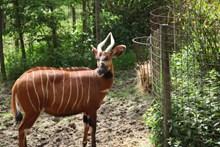 棕色野生羚羊精美图片