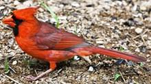 一只红衣教主高清图
