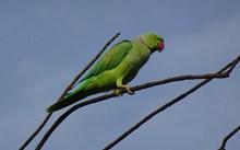 树枝上绿色鹦鹉高清图片