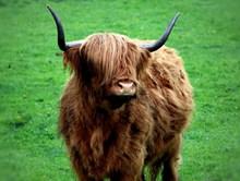 苏格兰高原耗牛高清图