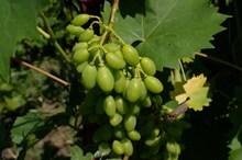 未成熟绿色葡萄串图片大全