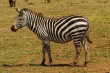 牧场黑白条纹斑马图片