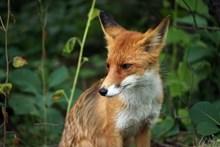 可爱野生小狐狸高清图片
