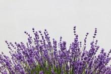紫色薰衣草花背景图片素材
