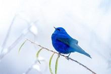 漂亮蓝色小鸟图片素材