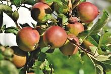 苹果树长满苹果图片素材