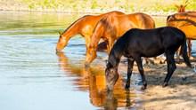 喝水的骏马高清图片