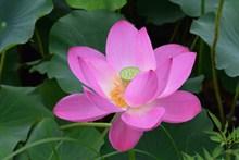 清新荷花花朵精美图片