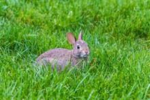 草丛一只灰兔子图片下载