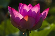莲花花朵特写图片大全