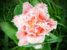 粉色郁金香花朵开放图片大全