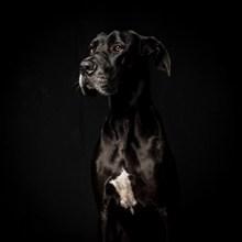 黑色的大狗图片大全