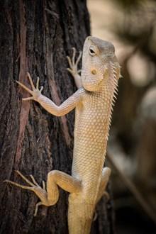 可变体色鬣蜥精美图片