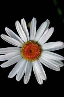 盛开的白色雏菊图片下载