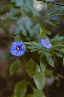 枝头上的蓝茄花图片素材