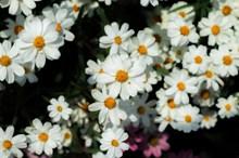 白色的雏菊花图片素材