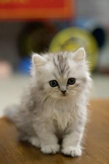 金吉拉幼猫图片素材