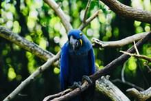 蓝色的金刚鹦鹉图片素材