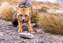 凶猛的狐狸高清图片