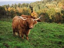 高原牦牛精美图片