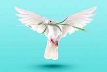 和平鸽高清图片下载