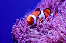 海洋小丑鱼高清图片