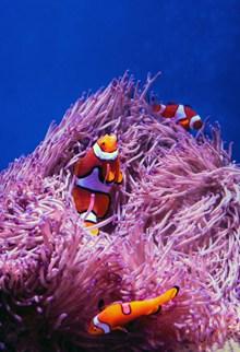 小丑鱼和海葵图片素材