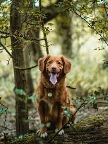 树林金毛犬图片下载