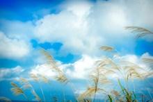 小清新蓝天白云芦苇高清图片