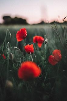 红色罂粟花微距图片素材