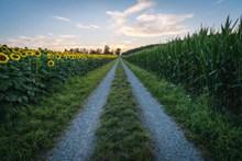 农场向日葵花海和玉米地精美图片