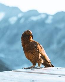鹰勾飞禽动物图片