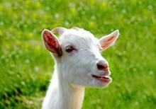 白色小羊头部特写高清图