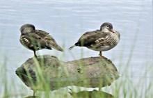两只家养鸭子休憩图片