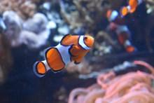 双色小丑鱼高清图