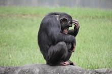 一只黑猩猩高清图
