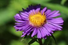 翠菊花朵特写高清图
