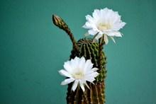 仙人掌白色花朵图片下载